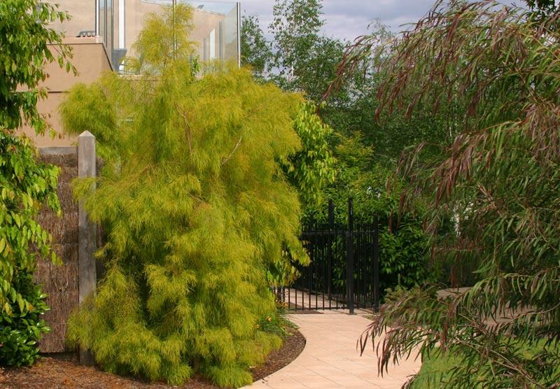 Acacia Cognata Lime Magik