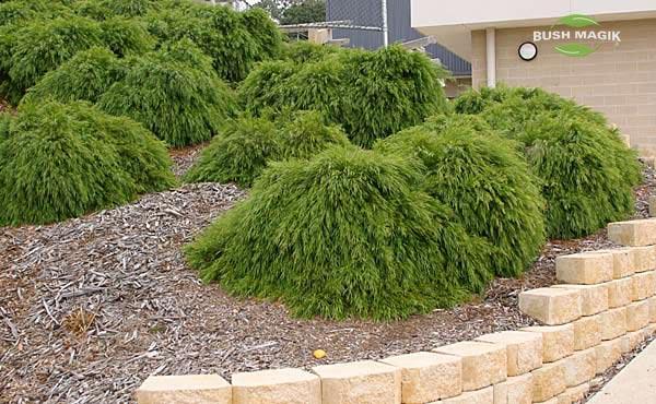 Acacia Cognata Mini Cog By Bush Magik