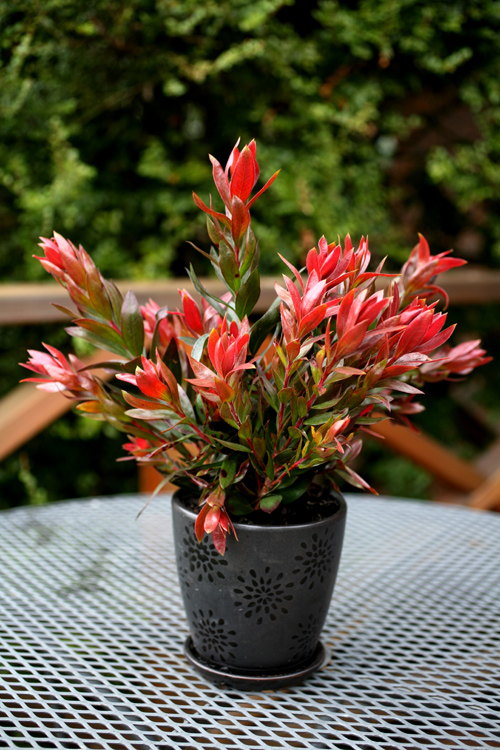 Callistemon Red Rocket...