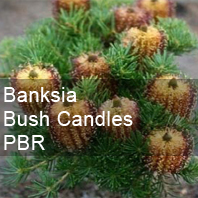 banksia bush candles