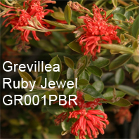 grevillea ruby jewel