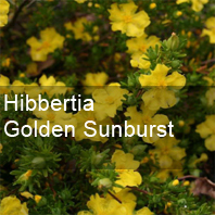 hibbertia golden sunburst