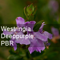 westringia deep purple